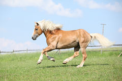 Haflinger Stallion Running