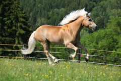 Nice haflinger stallion running on pasturage Royalty Free Stock Images