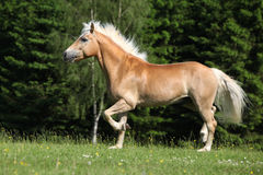 Nice haflinger stallion running on pasturage Stock Images