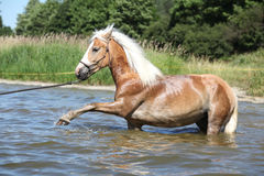 Nice haflinger in water Royalty Free Stock Photos