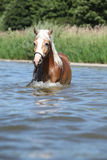 Nice haflinger in water Stock Photo