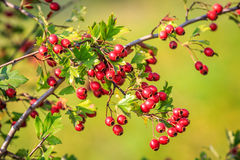 Nice hawthorn twig with red berry Royalty Free Stock Image