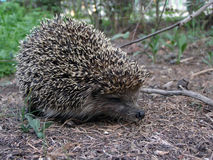 Nice hedgehog Royalty Free Stock Images