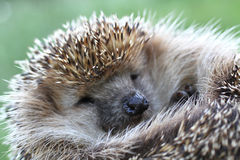 Nice hedgehog animal Royalty Free Stock Images
