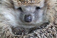 Nice hedgehog animal Royalty Free Stock Photo