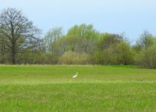 Beautiful bird on spring grass, Lithuania Royalty Free Stock Photo