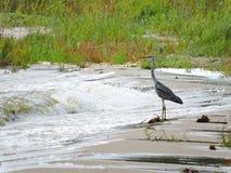 Beautiful heron bird on lake coast, Lithuania Stock Image
