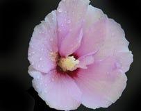 Nice hibiscus Royalty Free Stock Photo