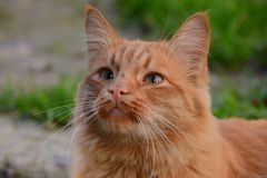 Cat. Red cat on walking Royalty Free Stock Photography
