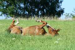 Nice horse rolling Royalty Free Stock Images