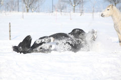 Nice horse rolling in the snow Stock Photos