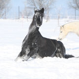 Nice horse rolling in the snow Stock Photography