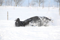 Nice horse rolling in the snow Stock Photo