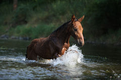 Nice horse with rope halter playing in the water Royalty Free Stock Image
