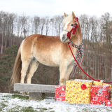 Nice horse with scarf and christmas gifts in winter Stock Photos