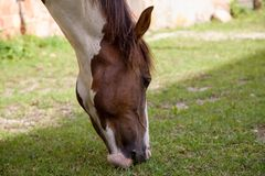 A nice horse takes the grass. Nice horse takes the grass royalty free stock images