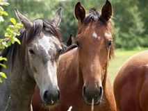 Nice horses Stock Images