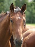 Nice horses Stock Photography