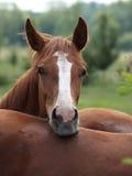 Nice horses Stock Photo