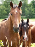 Nice horses Royalty Free Stock Photo