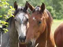 Nice horses Stock Photography
