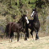 Nice horses running on pasturage together Royalty Free Stock Photos
