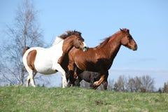 Nice horses running Stock Photography