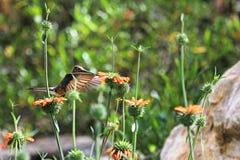 Nice hummingbird feeding on orange flower Royalty Free Stock Photography
