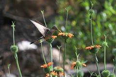 Nice hummingbird feeding on orange flower Royalty Free Stock Image