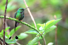 Nice hummingbird with forked tail, Booted Racket-tail Stock Photography