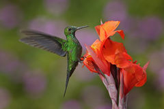 Nice hummingbird Green-crowned Brilliant , Heliodoxa jacula, flying next to beautiful orange flower with ping flowers in the backg Stock Photos