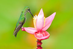 Nice hummingbird Green-crowned Brilliant , Heliodoxa jacula, flying next to beautiful ping flower, Tatama, Colombia. South America Royalty Free Stock Photography