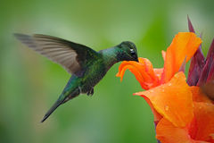 Nice hummingbird, Magnificent Hummingbird, Eugenes fulgens, flying next to beautiful orange flower with ping flowers in the backgr Royalty Free Stock Photos
