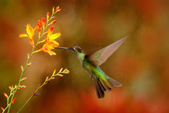 Nice hummingbird, Magnificent Hummingbird, Eugenes fulgens, flying next to beautiful orange flower with yellow bloom in the backg stock images