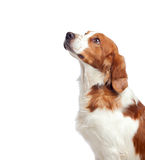 Nice hunting dog. Isolated on white background Royalty Free Stock Photography