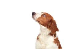 Nice hunting dog Stock Photos