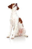 Nice hunting dog  Royalty Free Stock Image