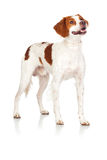 Nice hunting dog  Royalty Free Stock Image