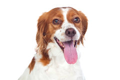 Nice hunting dog isolated Stock Image
