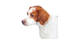 Nice hunting dog isolated Royalty Free Stock Image