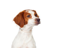 Nice hunting dog Royalty Free Stock Photo
