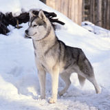 Nice husky dog Royalty Free Stock Photo