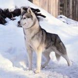 Nice husky dog Royalty Free Stock Photo