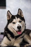 Nice husky dog Royalty Free Stock Photos
