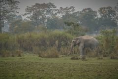 Nice indian elephant in the nature habitat of Kaziranga national park. / Nice indian baby elephant in Kaziranga / Nice indian baby elephant in Kaziranga in Royalty Free Stock Images