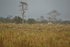 Nice indian elephant in the nature habitat of Kaziranga national park Royalty Free Stock Image