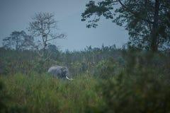 Nice indian elephant in the nature habitat of Kaziranga national park Stock Photography