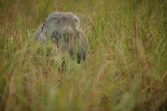 Nice indian elephant in the nature habitat of Kaziranga national park Royalty Free Stock Photography