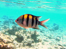 A nice Indo-Pacific Sergeant. This is a coloured Indo-Pacific Sergeant. This photo is from Maldives Stock Photography