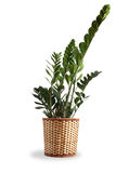 Nice Indoor Plant Stock Photography
